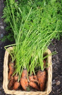 A bunch of freshly harvested carrots